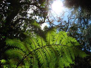 fougère arborescente forêt de belouve